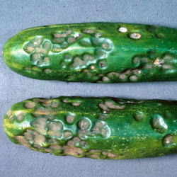 anthracnose tomato disease
