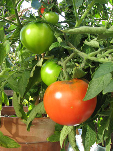 celebrity tomatoes in container