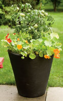 Potted tomato