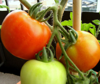 early-girl tomatoes in container