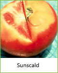 sunscald tomato disease