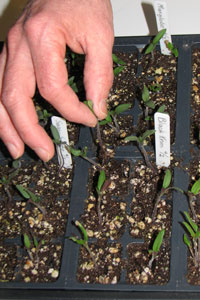 Thinning Tomato Seedlings