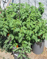 Tomato plants in buckets