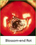 blossom-end rot in tomatoes