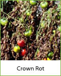 crown rot disease in tomatoes