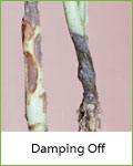 damping-off tomato disease
