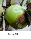 early blight tomato disease