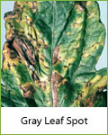 gray leaf spot tomato disease