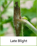 late blight tomato disease