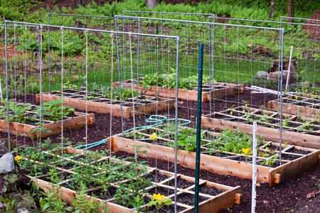 Tomato trellis on square foot garden