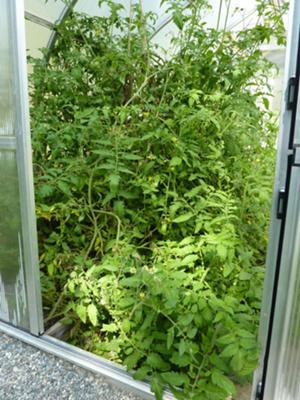 Huge plants, where are the tomatoes?