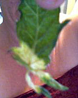 Tomato Leaf Damage