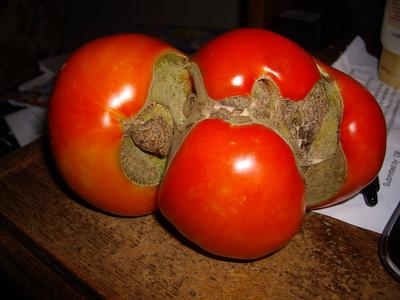 Tomato lower side