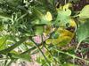 yellowing leaves