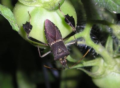 Large bug biting tomatoes