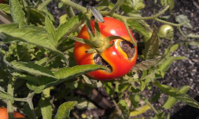 Tomato with large rotten spots