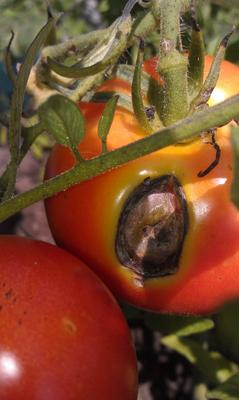Another tomato with large spot