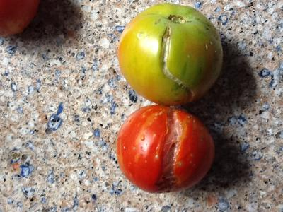 Tomatoes with cracks