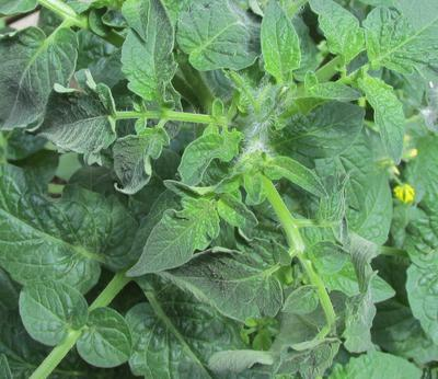 Wilted tomato plant